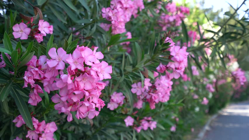 Bush With Pink Flowers In Stock Footage Video 100 Royalty Free 28331440 Shutterstock