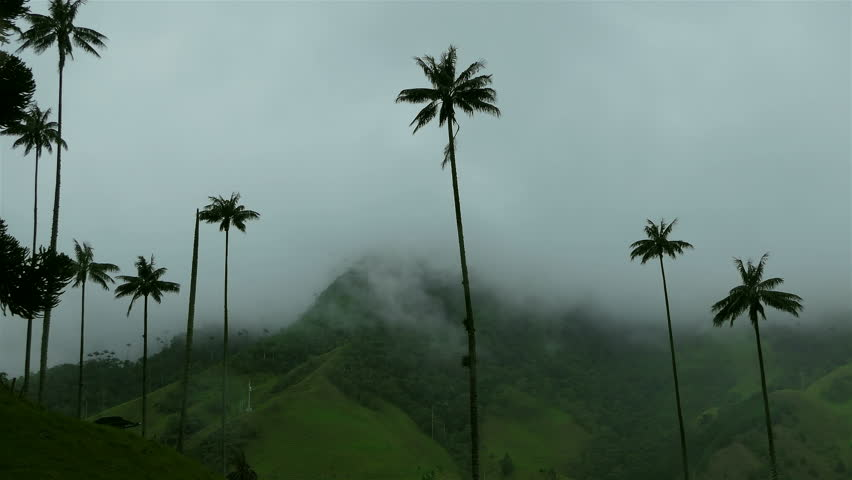High palm tree in Cocora Valley. Timelapse of Cocora Valley (Valle del Cocora), Colombia, Salento. Epic Nature background. High Humidity In Jungle Rainforest. Timelapse Of Moving Clouds And Fog.