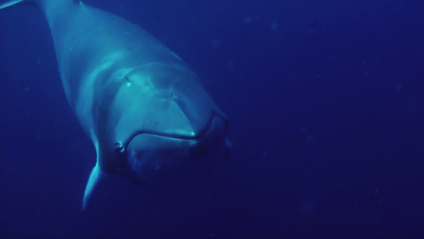 Massive Minke whales investigate the camera on the great barrier reef.