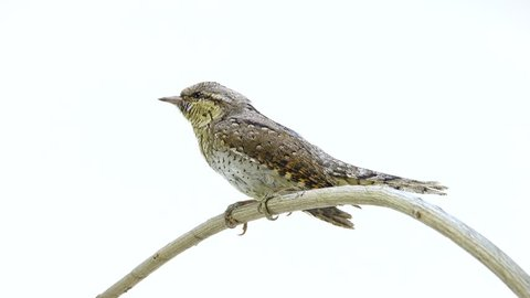 Eurasian wryneck (Jynx torquilla) isolated on a white background