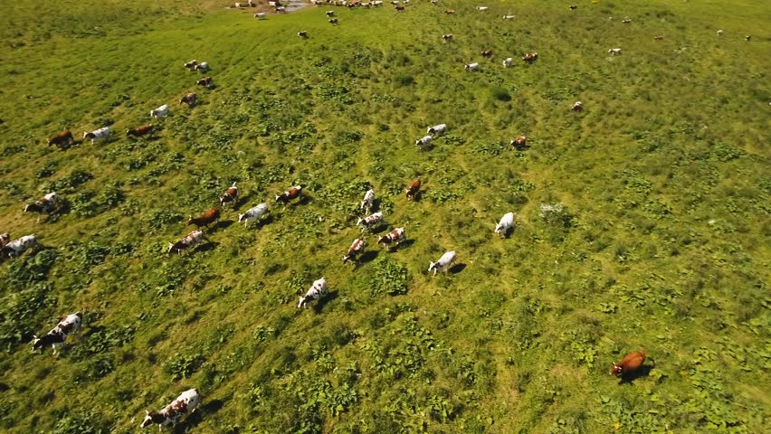 Aerial view cows graze on a green pasture on a summer day. Herd cows on a summer pasture. Aerial footage, 4K video. | Shutterstock HD Video #28399252