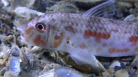 Sea fish Red mullet (Mullus barbatus) lies on the bottom, close-up.