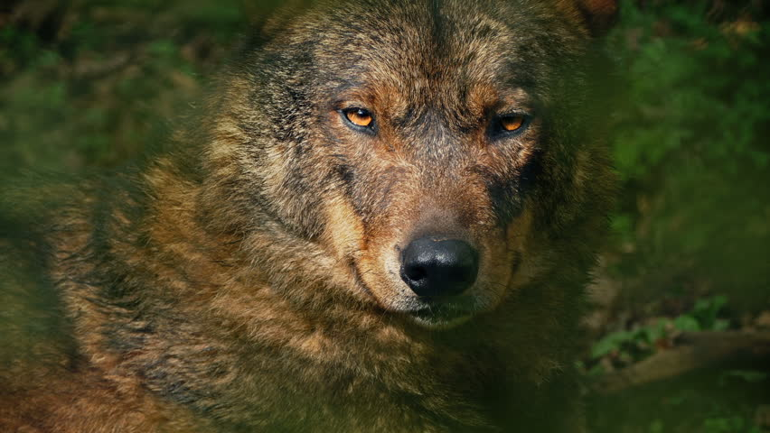 Wolf Growls In Forest Closeup