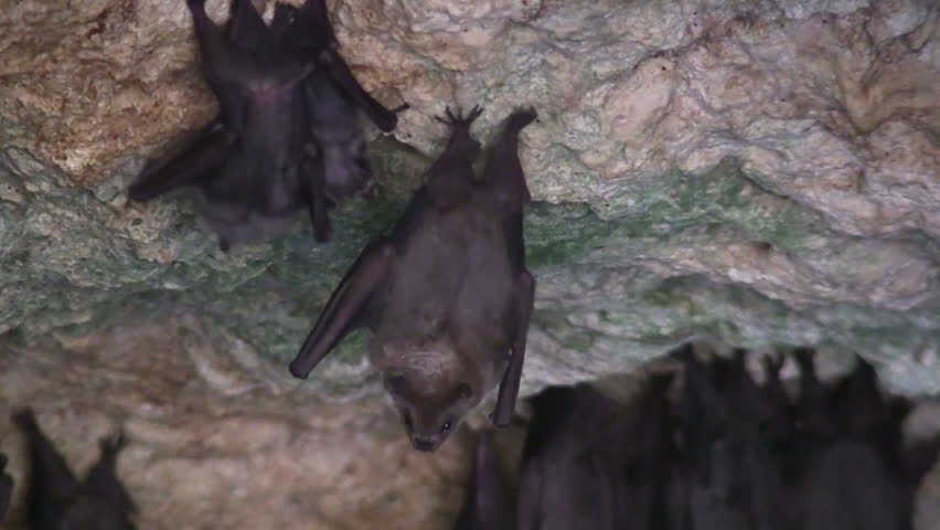 Cuba-2010s: Close up of fruit bats in a cave in Cuba. | Shutterstock HD Video #28504471
