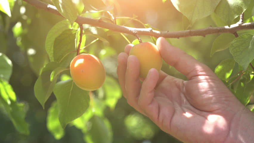 Hand picking ripe apricots in the orchard | Shutterstock HD Video #28530256
