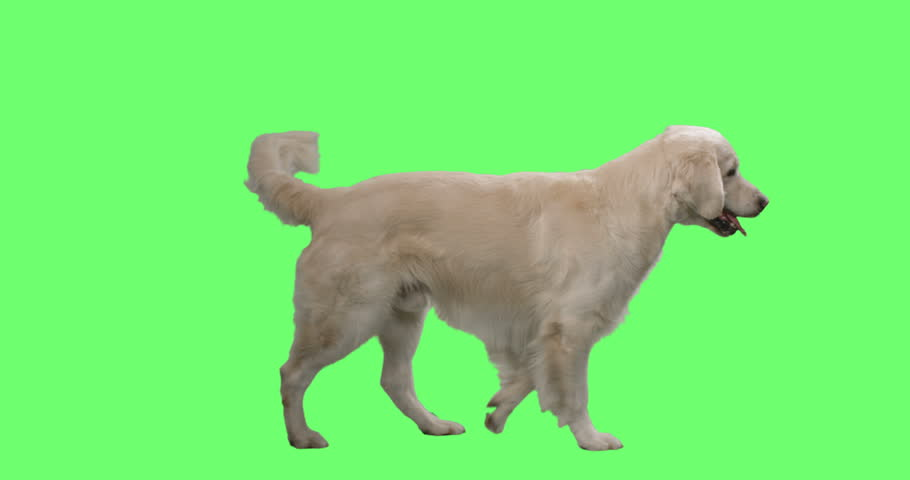 Happy Labrador Retriever Wags His Tail and Walks on a Mock-up Green Screen Background. Shot on RED Cinema Camera in 4K (UHD). | Shutterstock HD Video #28531627