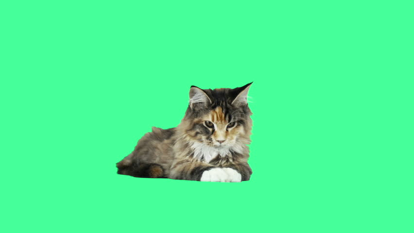 Funny cat on a green screen #28569367