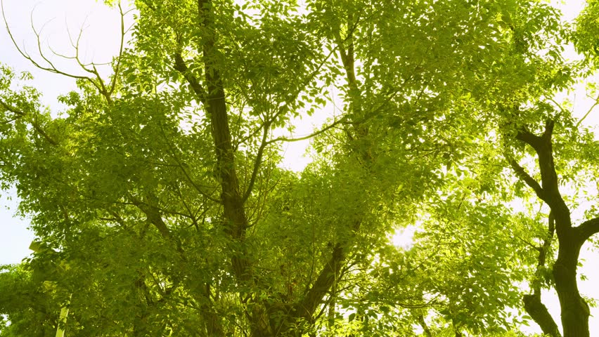 Crowns of trees with bright afternoon sun and rays. | Shutterstock HD Video #28581052