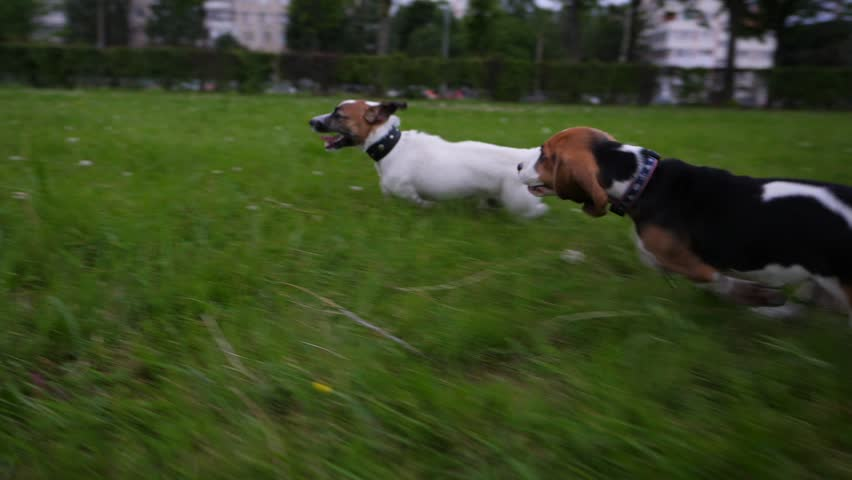 Fast catch-up running of small terrier dog and cute beagle puppy. Slow motion shot, tracking camera. Puppies play on grass at city park, rush around one by one | Shutterstock HD Video #28586788