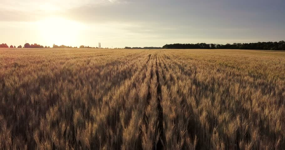 Aerial view. Flight above the ripe golden wheat field at sunrise. Flight forward and up.   Shutterstock HD Video #28683652