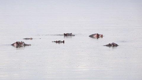 Hippo, Hippopotamus, Family in a lake, Africa