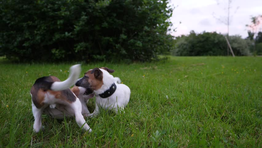 Two puppies play at grass, funny battle of young Beagle and Jack Russell Terrier dogs, slow motion shot. Lie on ground, clasp and tussle, typical active recreation of juvenile animals   Shutterstock HD Video #28751251