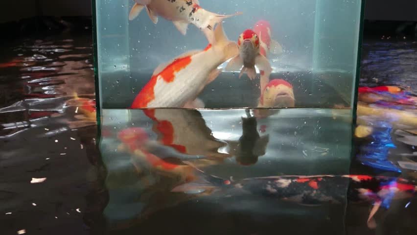 Fancy Carps Fish or Koi Swim in Pond, Movement of Swimming and Space #28776331