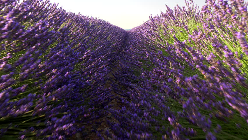 Walking through lavender field at sunrise. Valensole Plateau. Provence, France   Shutterstock HD Video #28806256