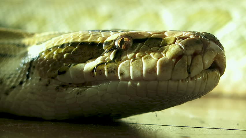 A close up of a snakes face, eyes, and tongue. Then she slithers across the wooden floor.