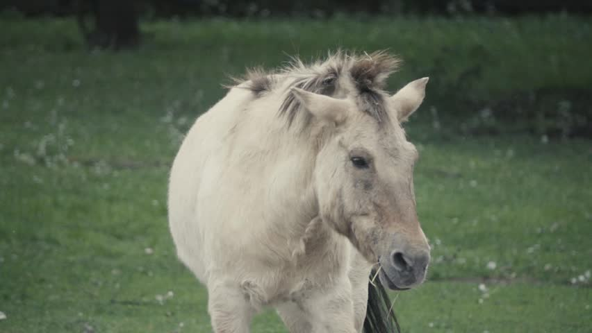 The Przewalski's horse or Dzungarian, is a rare and endangered subspecies of wild horses (Equus ferus) native to the steppes of central Asia. Slow motion 250 FPS  #28822273