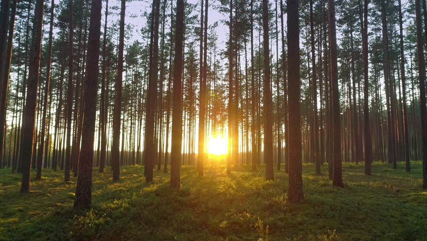 Beautiful nature, pristine forest with long trees trunks, green grass moss carpet and radiant shimmering shining sunset, forward motion view