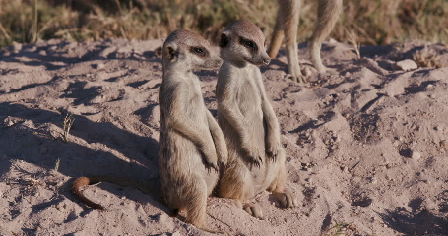 Funny animals.Two cute funny baby meerkats that can't keep their eyes open while sitting and fall over,Botswana. Wildlife in Africa.   Royalty-Free Stock Footage #28861072