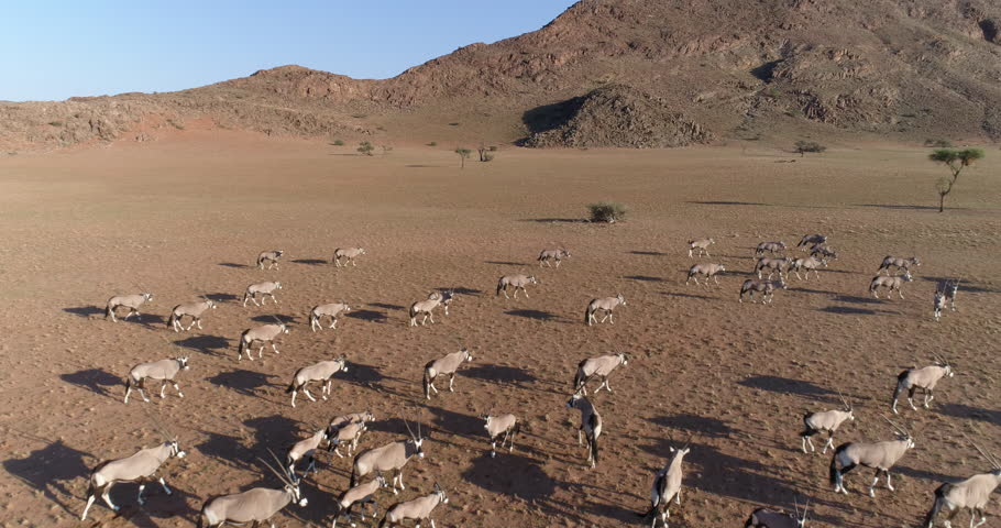 Fly over aerial view of gemsbok (oryx) in the   NamibRand Nature Reserve | Shutterstock HD Video #28865749