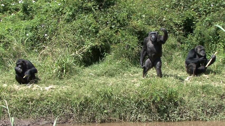 A chimpanzee waves in Kenya, Africa.