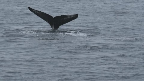 two humpback whales coming near the boat. Pacific Ocean, Kamchatka