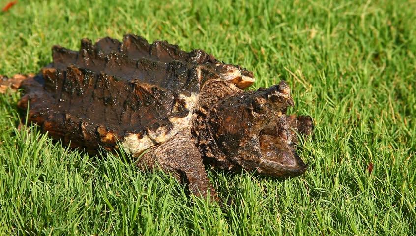Alligator snapping turtle(Macrochelys temminckii) in grass.   Shutterstock HD Video #28938793