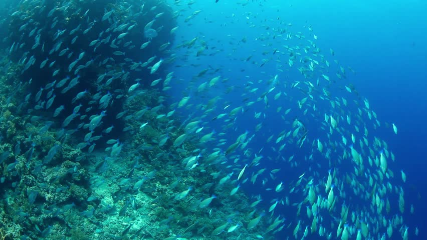 Massive shoal of parrot near the reef  | Shutterstock HD Video #28949764