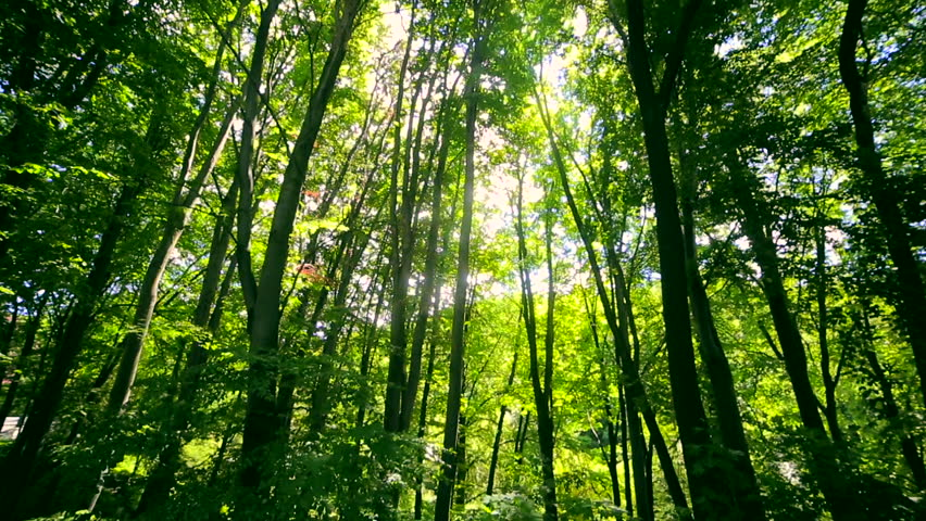 Sun's rays are shining through the leaves of the trees in the forest. The camera moves down the hill | Shutterstock HD Video #29016304