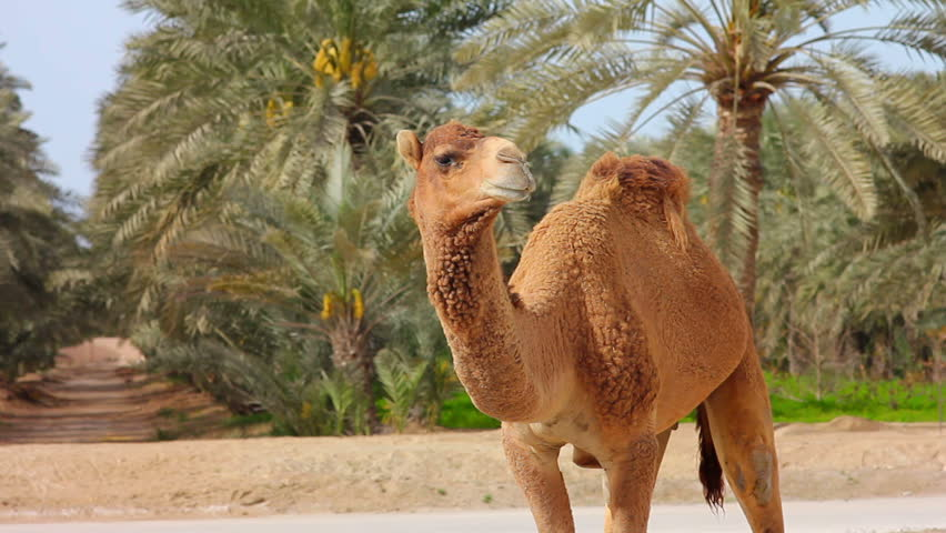 Camel in desert with palm trees
