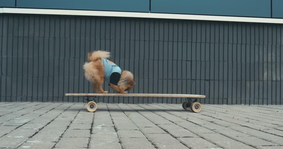 Funny cute Pomeranian Spitz dog puppy riding on a longboard skateboard outdoors. 4K UHD RAW edited footage | Shutterstock HD Video #29068489