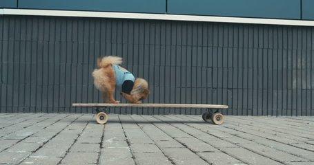 Funny cute Pomeranian Spitz dog puppy riding on a longboard skateboard outdoors. 4K UHD RAW edited footage