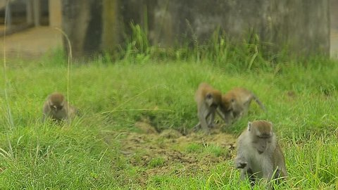 Monkey eating grass