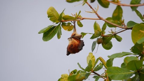 Mauritian Fruit Bat hanging from a tree branch and feeding in the late afternoon.
