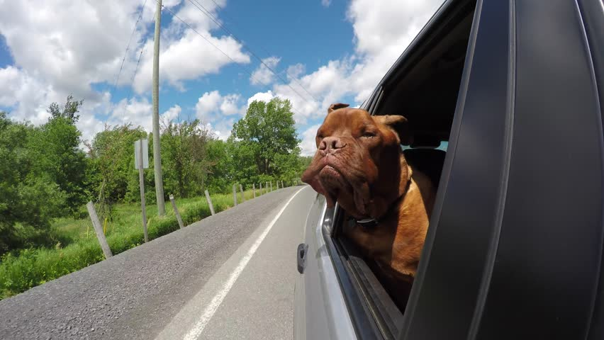 Cute dogue de bordeaux enjoys car ride with head out window 4k, go