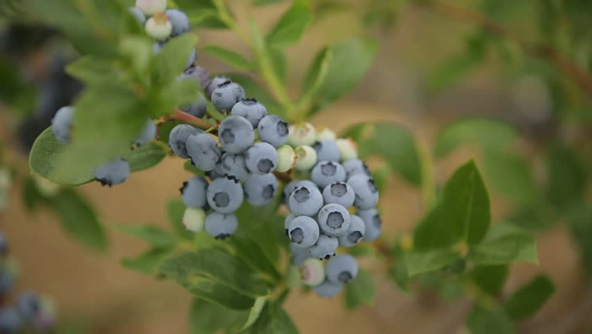 Blueberries on the field in summer. Sung and not ripe berries weigh on bushes. Cloudy sky, summer | Shutterstock HD Video #29221276