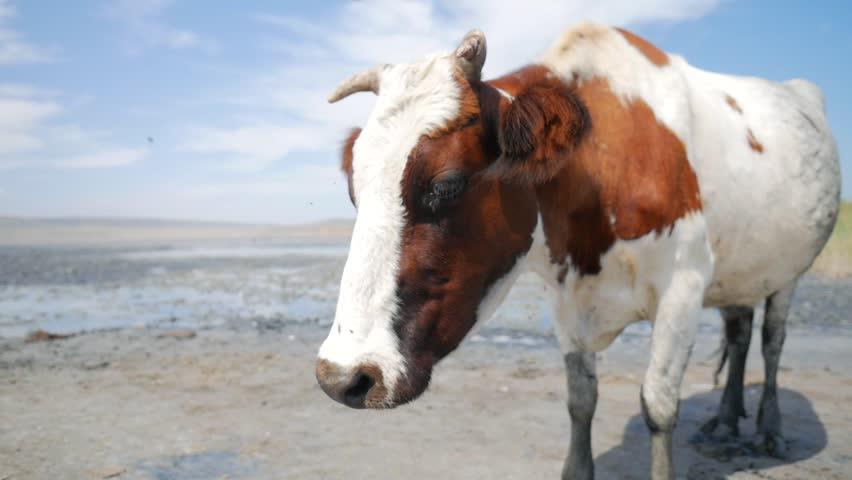 Cow at Farm. HD Slowmotion