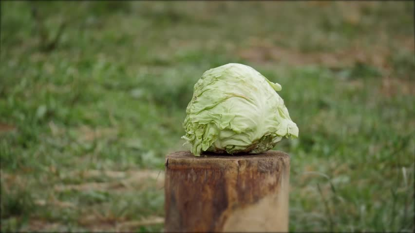 The cabbage is cut with a sword | Shutterstock HD Video #29250442