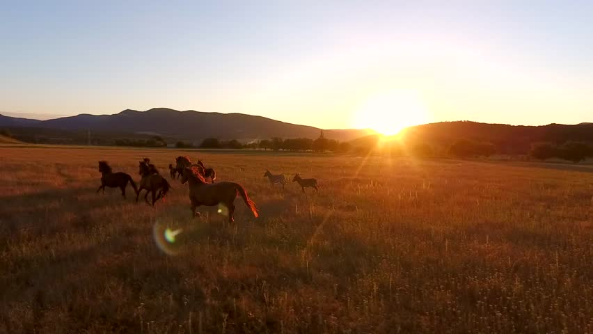 Wild Horses Galloping in a Field. Aerial Cinematic View of Runnig Horses. Amazing Golden Sunset with Camera Lens Flare Effect. HD Slowmotion. | Shutterstock HD Video #29288755