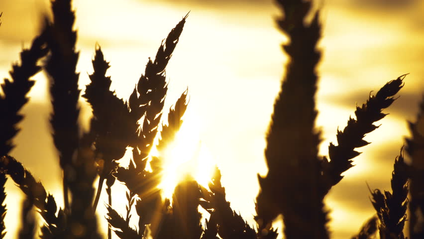 Silhouette of a wheat in the morning dew. Close-up of wheat and sun shining on it through the clouds. #29289097