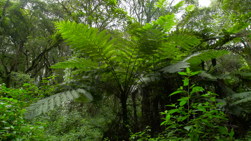 Giant Fern on Kilimanjaro Mountain. Rain forest vegetation. Giant fern in the rain forest. Fern in the jungle. Africa. Tanzania | Shutterstock HD Video #29303587