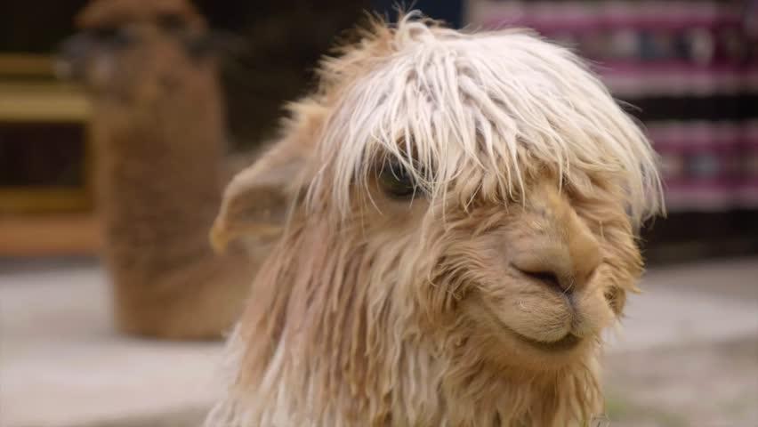 Peruviam Llama and Alpaca smiling in slow motion