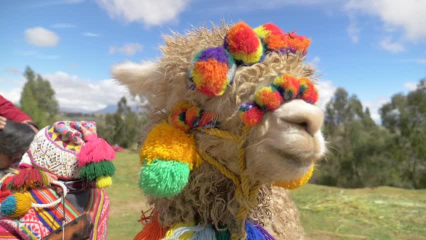 Peruvian Alpaca in traditional Colorful clothes.