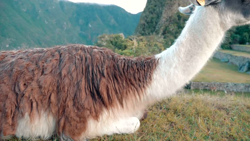 Llama in Machu Picchu.  Close up of llama body and face with incan ruins behind it.  Slow Motion