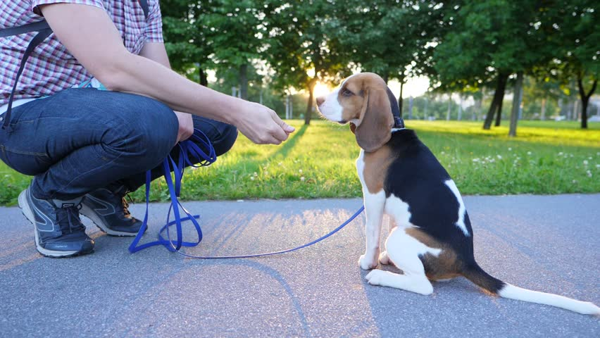Man train young beagle dog to sit, give food as reinforcer. Nice sunny evening at city park. Doggy look up and sit down, owner stretch hand and give snatch to eat