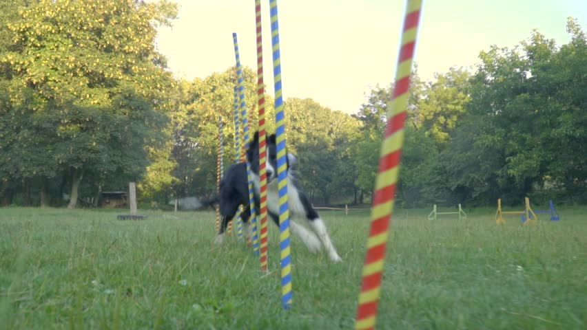 Slalom the dog. Border collie fast runs between the multicolored pillars behind the woman handler with small ball, slow motion