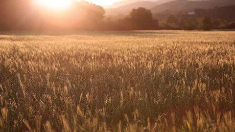 Corn field, sunset, windy, south of france.