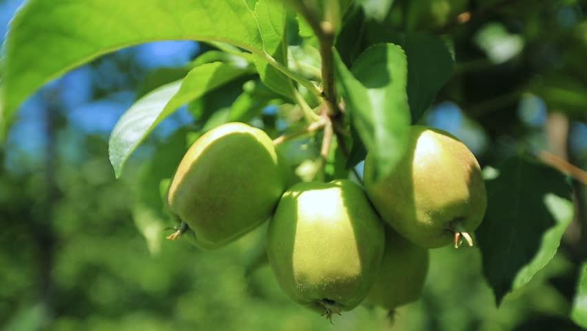 green apples on appletree