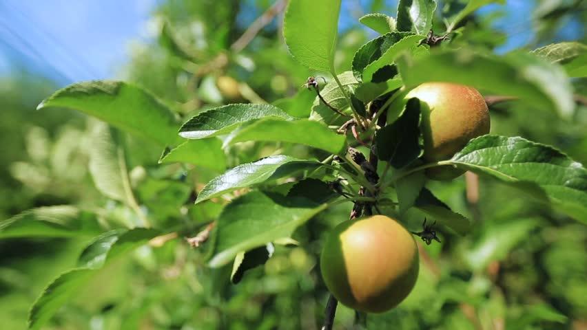 ripe apples on appletree