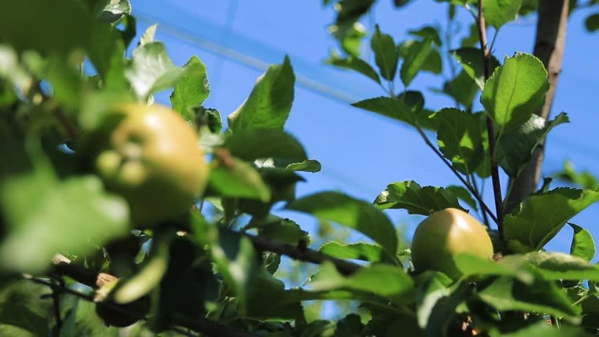 apples on appletree, closeup