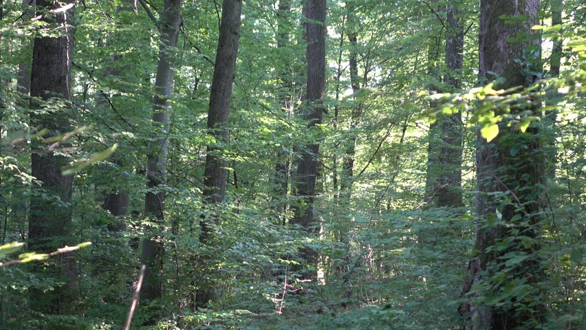 Forest. Transcarpathia   Shutterstock HD Video #29500996